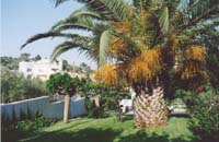 Beautiful palm in gardens at Swans-Nest